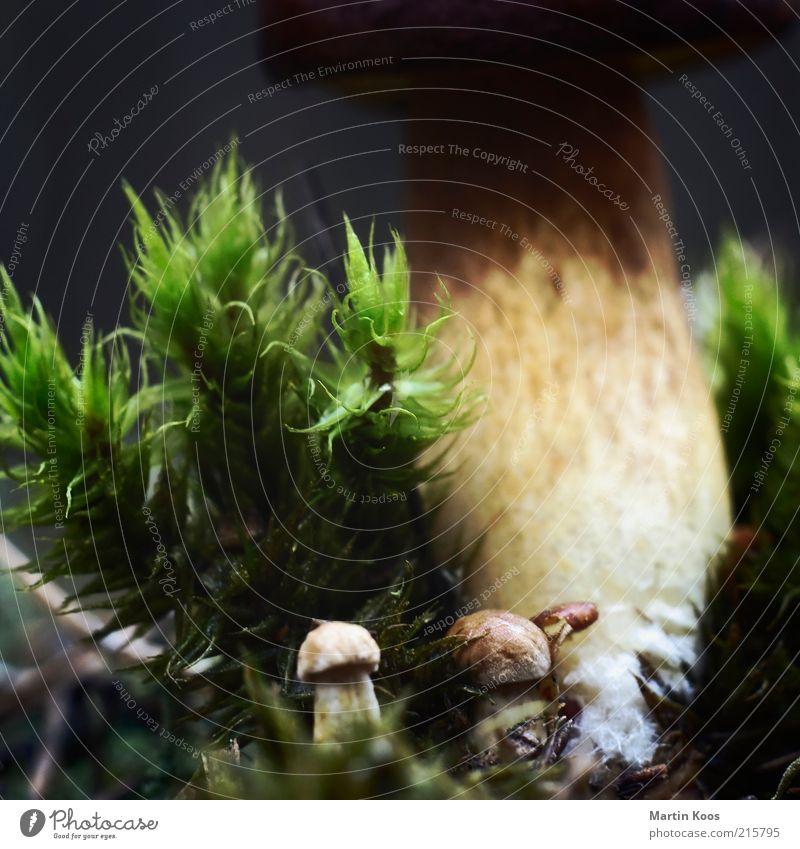 Nature Plant Environment Small Large Fresh Growth Moss Mushroom Woodground Mushroom cap Domestic Macro (Extreme close-up) Boletus Cep Size difference