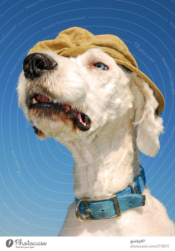 A slightly different watchdog Fashion Accessory Hat Cap Peaked cap Animal Pet Dog Animal face Pelt Dog's snout Dog collar Puppydog eyes Dog's head White