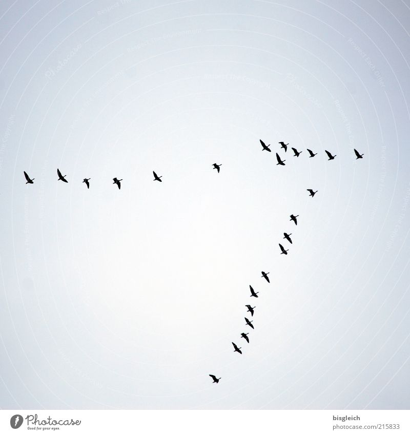 southwards Wild animal Bird Flock Flying Blue Longing Wanderlust Flock of birds South Sky Far-off places Colour photo Subdued colour Exterior shot