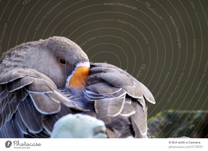 Beautiful Animal Gray Orange Contentment Feather Wing Bird Fatigue Hide Beak Timidity Goose Farm animal Rest Indifferent