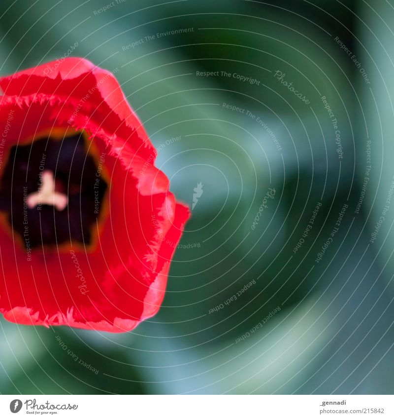Nature Flower Green Plant Red Blossom Spring Fresh Soft Blossoming Tulip Symmetry