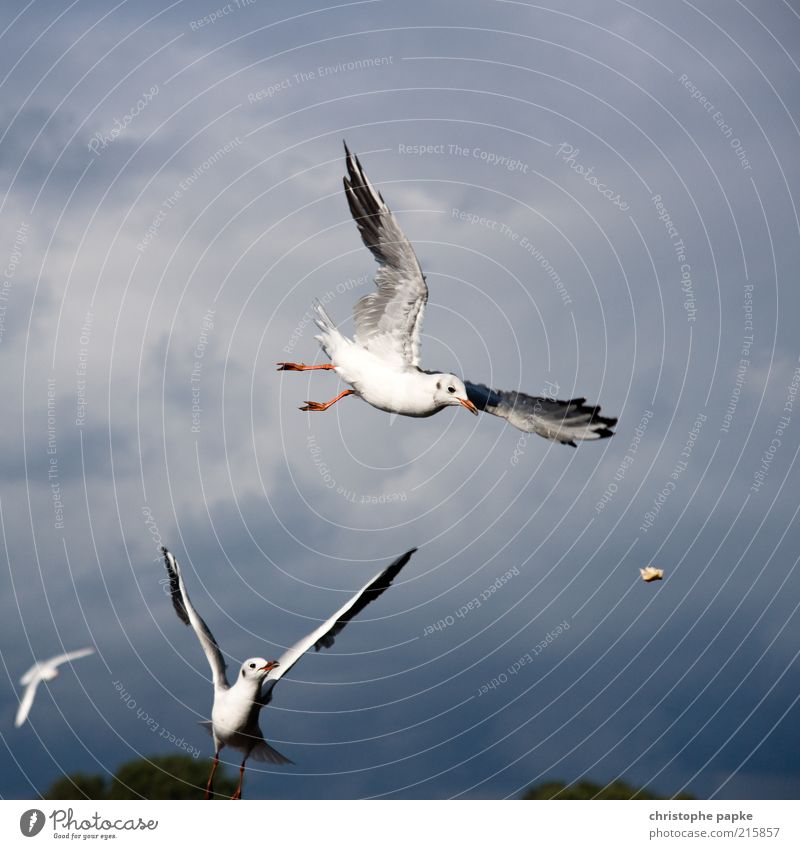 Animal Movement Flying Bird Power Wing Speed Storm Brave Seagull Catch Anticipation To feed Brash Effort Throw