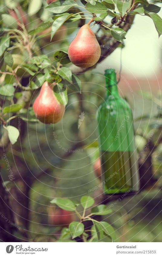 Nature Tree Green Nutrition Autumn Food Environment Fruit Fluid Delicious Harvest Trap Beautiful weather Organic produce Pear Twigs and branches