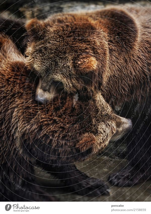 as strong as an ox Animal Wild animal 2 To hold on Fight Communicate Bear Strong as an ox Power Pelt Bite Stock market Pair of animals Colour photo