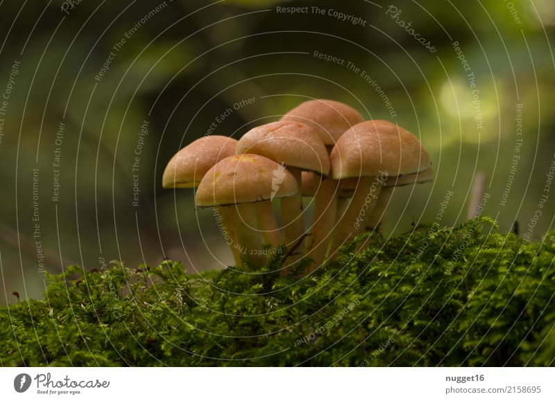 Autumn time Mushroom season Environment Nature Plant Summer Moss Kuehneromyces mutabilis Garden Park Forest Authentic Delicious Near Natural Beautiful Under