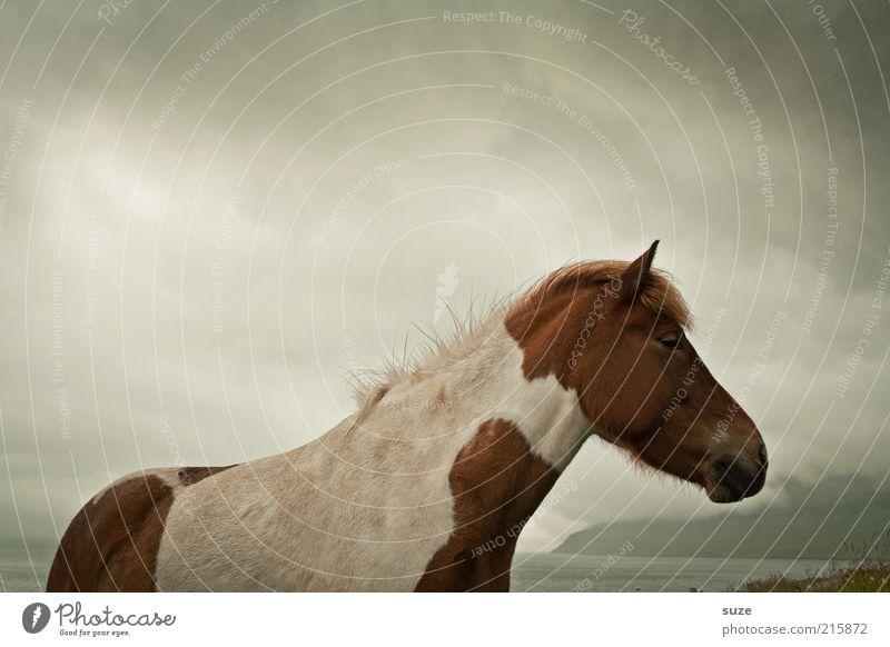 In wind and weather Nature Animal Sky Clouds Wind Farm animal Wild animal Horse 1 Stand Wait Esthetic Dark Natural Moody Mane Pony Føroyar Iceland Pony