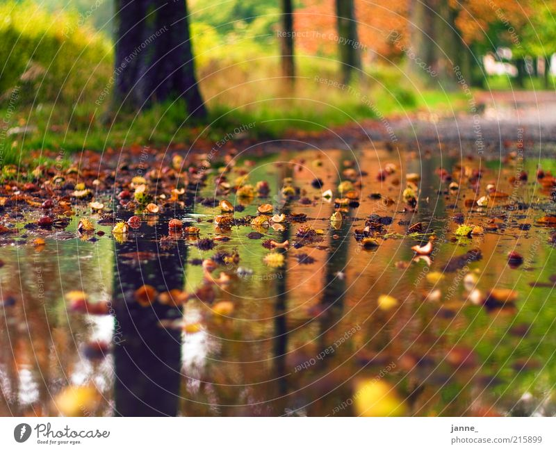 chestnuts Nature Landscape Earth Water Drops of water Autumn Beautiful weather Bad weather Rain Plant Tree Grass Park Brown Yellow Green Colour photo