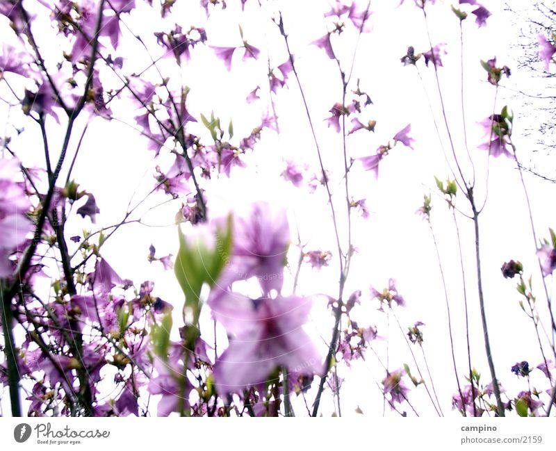 Blossom Spring Park Pink Bushes Violet
