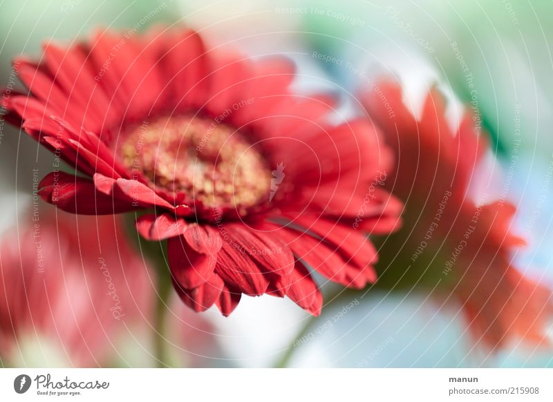 gerbera Decoration Nature Plant Flower Blossom Gerbera Summerflower Bouquet Blossoming Exceptional Beautiful Pink Red Esthetic Fragrance Colour photo