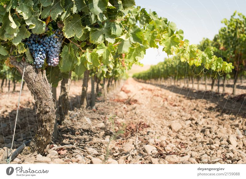 Red wine grapes Fruit Nature Plant Autumn Leaf Growth Fresh Blue Bunch of grapes Vineyard Spain vine agriculture Winery food bunch Harvest ripe vintage Purple