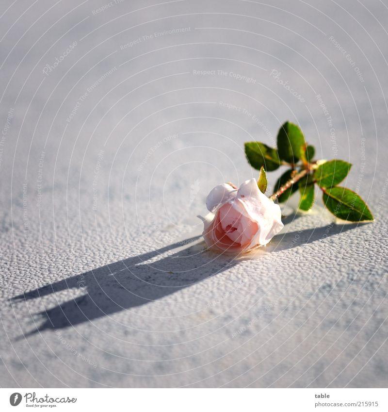 White Flower Green Plant Emotions Blossom Pink Wet Rose Esthetic Lie Uniqueness Fragrance Damp Dew Water