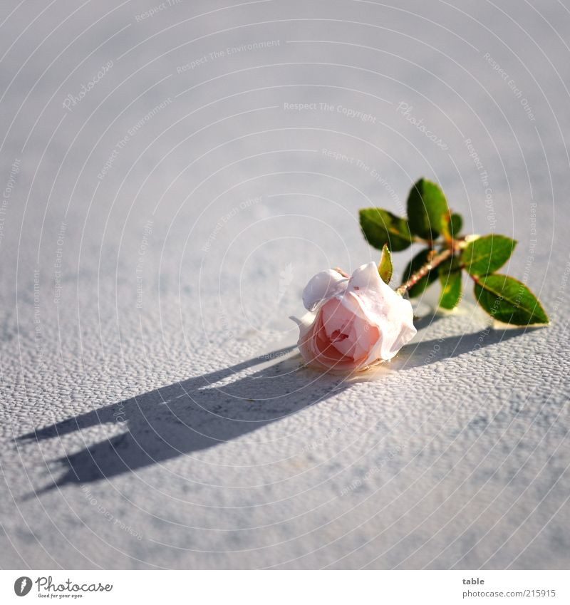 White Flower Green Plant Emotions Blossom Pink Wet Rose Esthetic Lie Uniqueness Fragrance Damp Dew Water