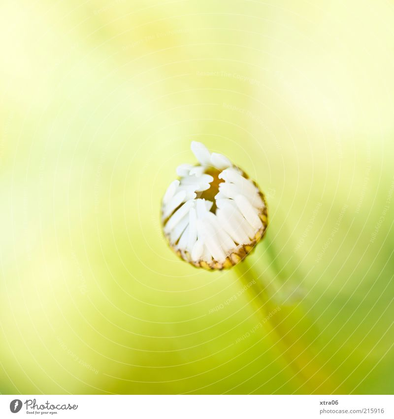 Good morning Environment Nature Plant Flower Blossom Esthetic Authentic Simple Elegant Natural Yellow Green White Daisy Colour photo Exterior shot Close-up