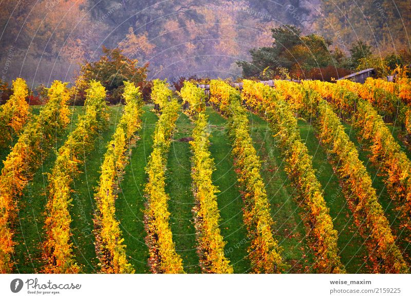 Colorful autumn in vine yards, Austria Nature Vacation & Travel Plant Green Landscape Tree Red Leaf Mountain Yellow Autumn Garden Tourism Trip Rain Fruit