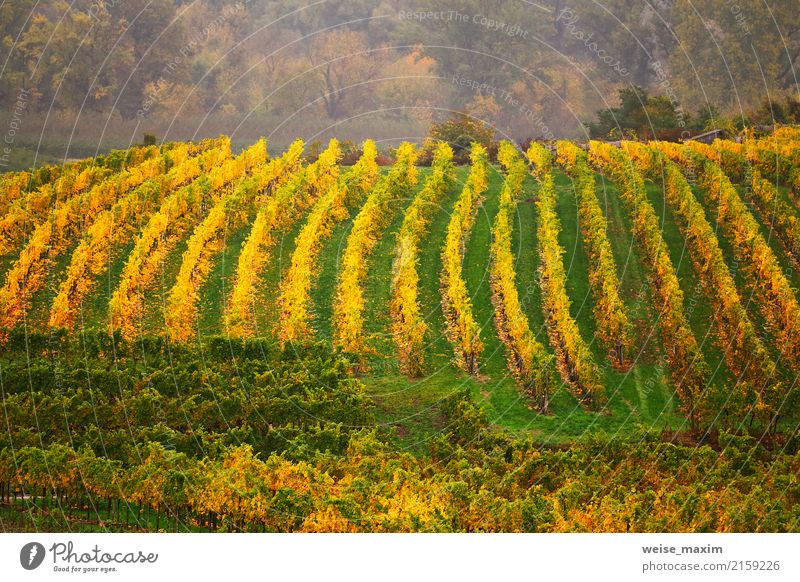 Panorama of Wachau valley. Colorful autumn in vine yards Nature Plant Green Landscape Tree Leaf Mountain Yellow Autumn Garden Tourism Fruit Field Growth Bushes