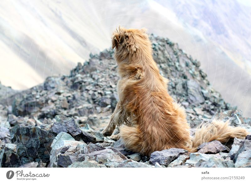 Kholeno Animal Dog 1 Exhaustion Mountain Climbing Mountaineering Iran Tehran Peak Rock Stone Colour photo Exterior shot Deserted Copy Space left Animal portrait