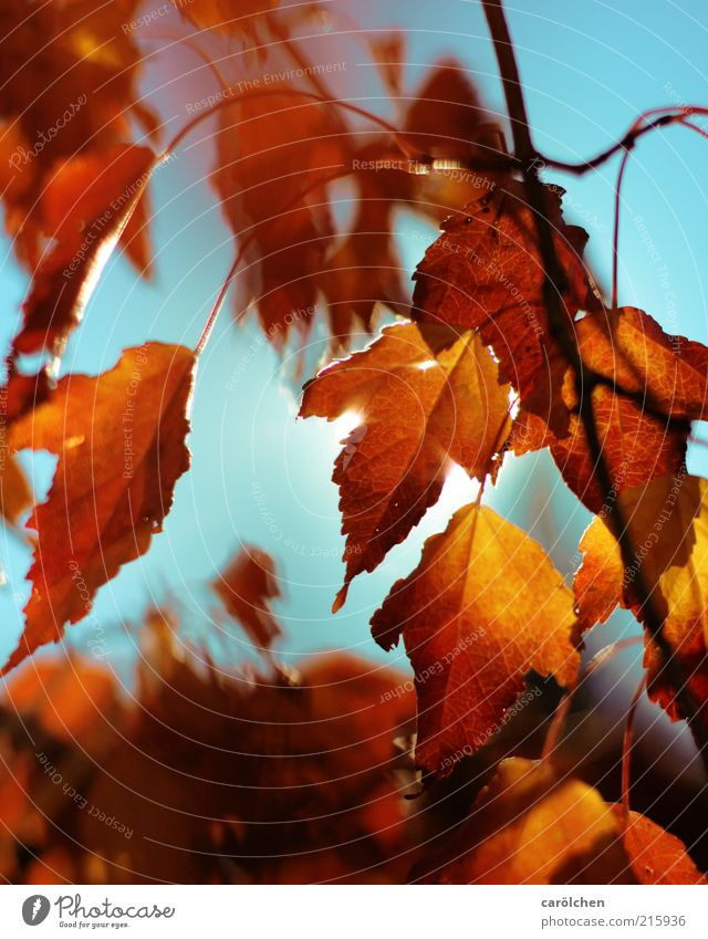 Hot Autumn Environment Nature Sunlight Plant Tree Leaf Blue Yellow Gold Autumn leaves Autumnal Autumnal colours copper pear Copper rock pear Indian Summer
