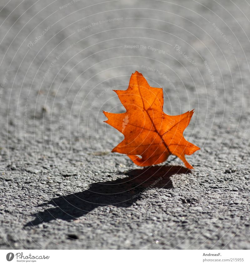 Autumn casts its shadows ahead Nature Plant Leaf Street Lanes & trails Yellow Red Autumn leaves Oak tree Oak leaf Orange Asphalt Shadow Dark side Gray