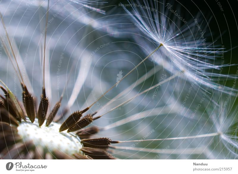 puppete Environment Nature Plant Dandelion Esthetic Propagation Seed Fragile Transience Delicate Ease Deserted Pollen Copy Space top Copy Space right