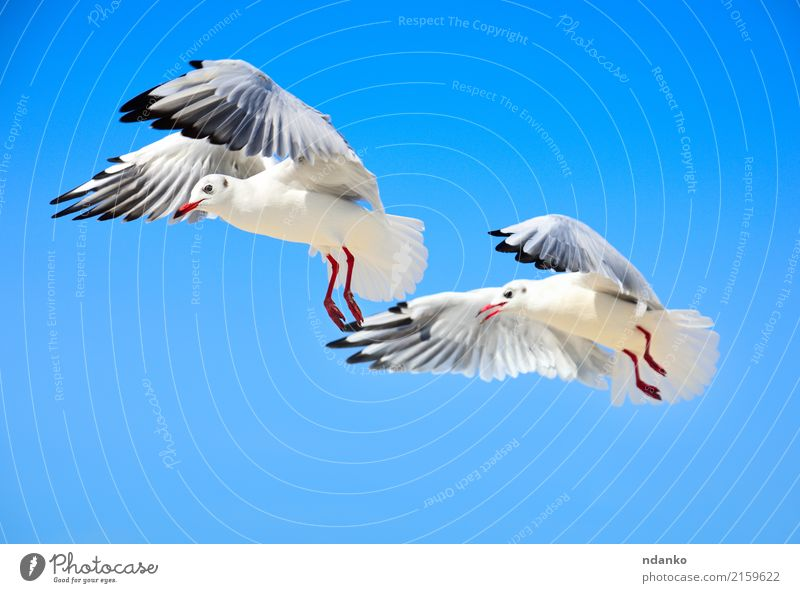 Two white sea gulls Beautiful Freedom Summer Ocean Nature Animal Sky Bird 2 Flock Flying Love Wild Blue White Seagull fly two Conceptual design sunny Feather
