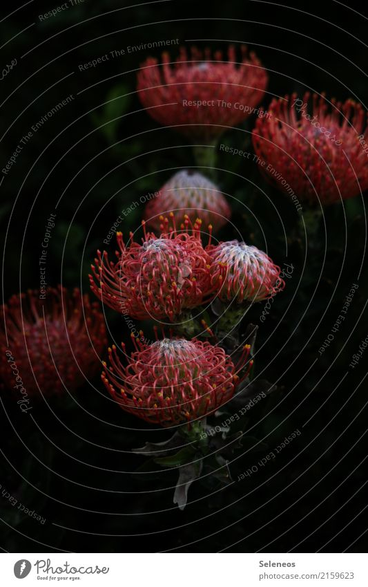 Nature Vacation & Travel Plant Summer Beautiful Flower Environment Blossom Spring Garden Tourism Park Blossoming Exotic Protea