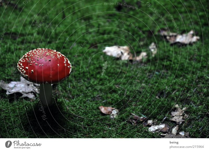 Motif in this surprising perspective too rarely represented Nature Plant Autumn Moss Mushroom Amanita mushroom Warning colour Red White Green Colour photo