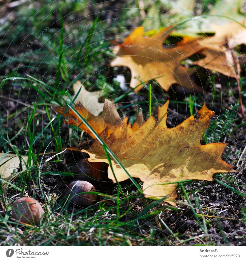 Autumn Nature Plant Grass Leaf Dry Oak tree Acorn Oak leaf Autumn leaves Autumnal colours October Colour photo Exterior shot Detail Ground Deserted Sunlight