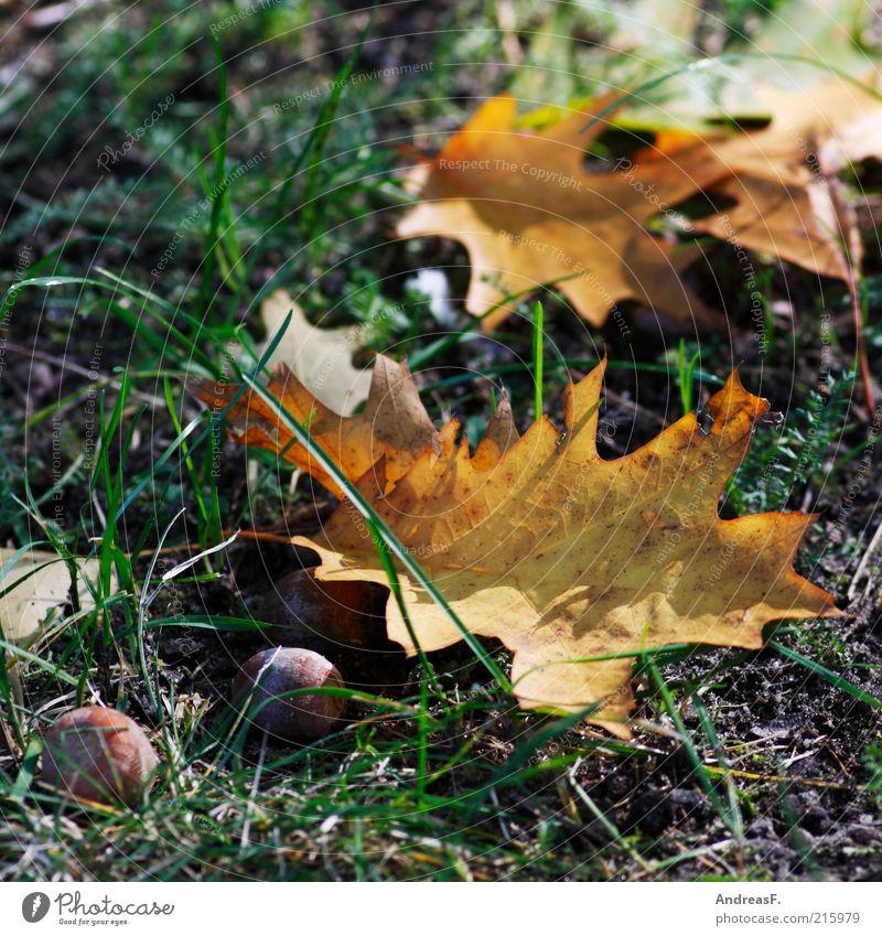 Nature Plant Leaf Autumn Grass Ground Dry Autumn leaves October Oak tree Autumnal Acorn Autumnal colours Oak leaf