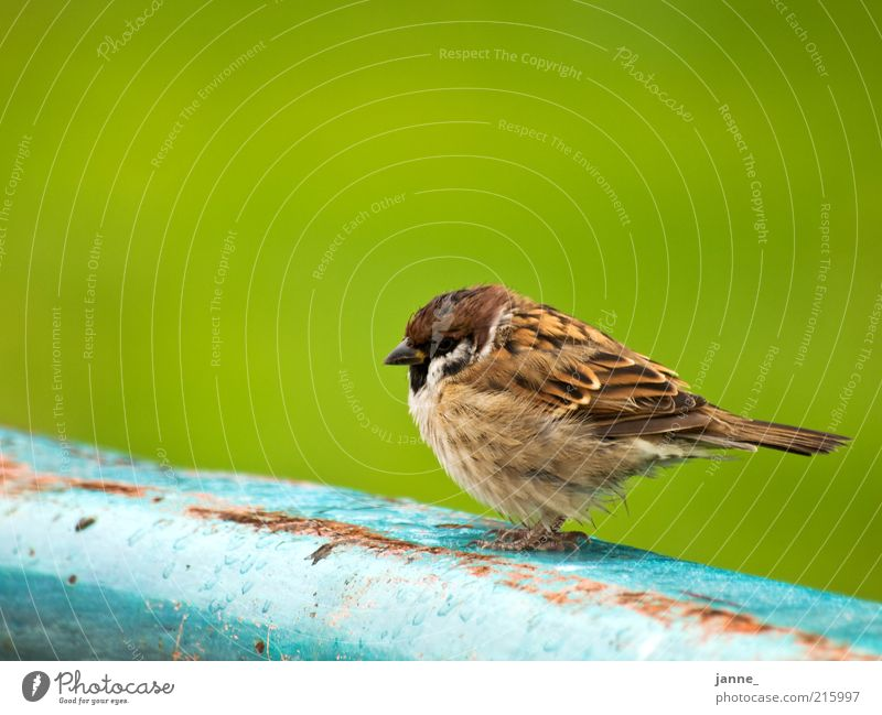 Wróbel Animal Bird Sparrow 1 Blue Brown Green Colour photo Exterior shot Isolated Image Neutral Background Day Animal portrait Sit Calm Plumed Feather