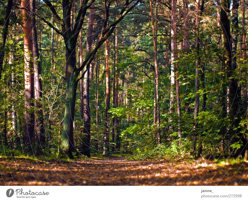 forest Environment Nature Plant Earth Autumn Tree Leaf Forest Brown Multicoloured Green Colour photo Exterior shot Day Light Shadow Sunlight Worm's-eye view