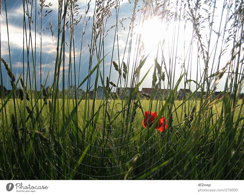 Mohnblume Freedom Summer Sun Environment Nature Landscape Plant Elements Beautiful weather Flower Grass Blossom Meadow Field Art Infinity Far-off places Earth