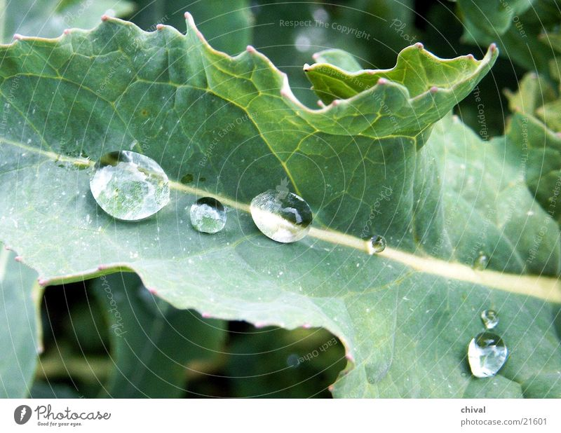 Water Leaf Rain Drops of water