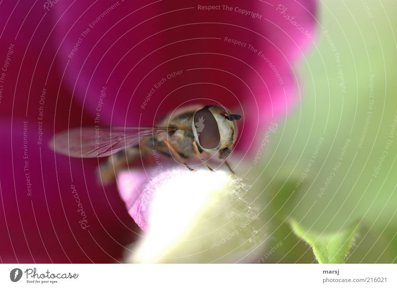 stopover Environment Nature Summer Wild animal Animal face Hover fly 1 Near Natural Beautiful Green Red White Colour photo Multicoloured Exterior shot Close-up