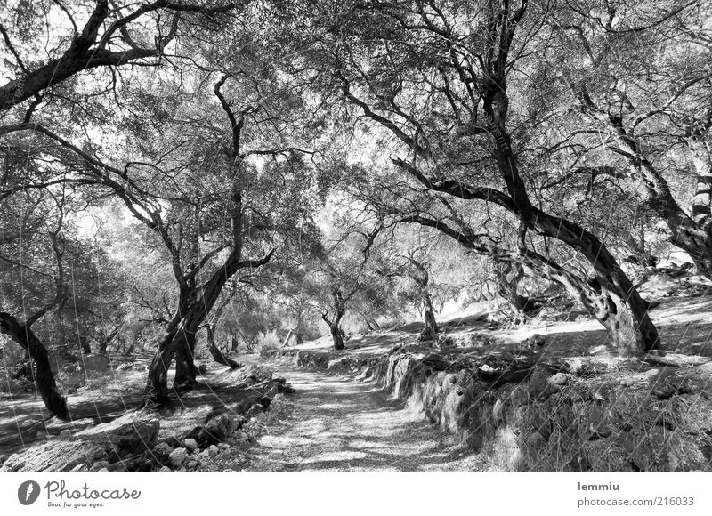 olive grove Nature Landscape Plant Earth Tree Agricultural crop Forest Lanes & trails Old Black White Olive tree Olive grove Corfu Wall (barrier) Headstrong