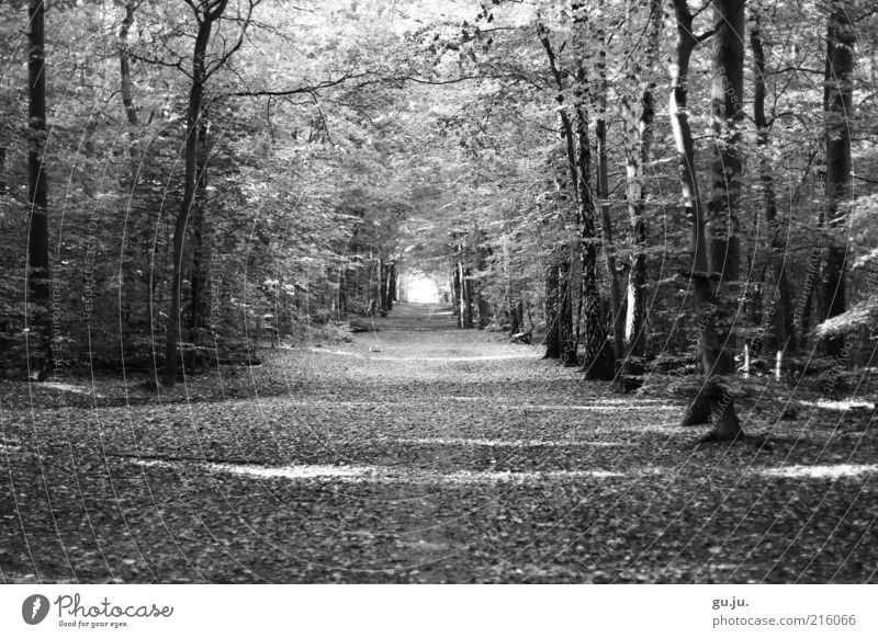 Nature White Tree Plant Leaf Black Forest Autumn Environment Lanes & trails Earth Trip Free Empty To go for a walk Avenue