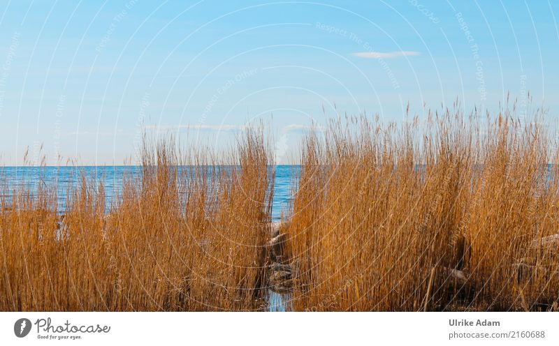 Reeds (Phragmites) on the coast of Bornholm Harmonious Well-being Relaxation Steam bath Swimming pool Swimming & Bathing Vacation & Travel Tourism