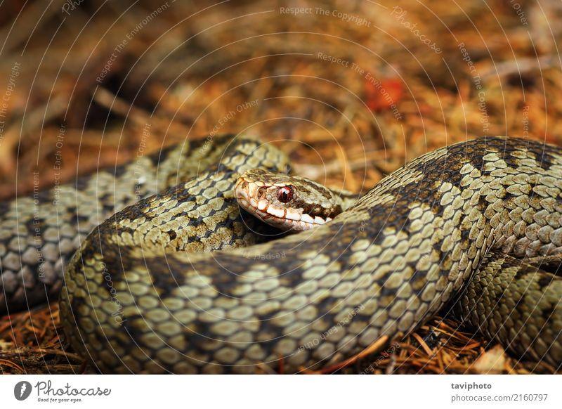 beautiful closeup of european crossed viper Beautiful Nature Animal Wild animal Snake Brown Gray Fear Dangerous Viper adder common vipera berus head eye Crossed