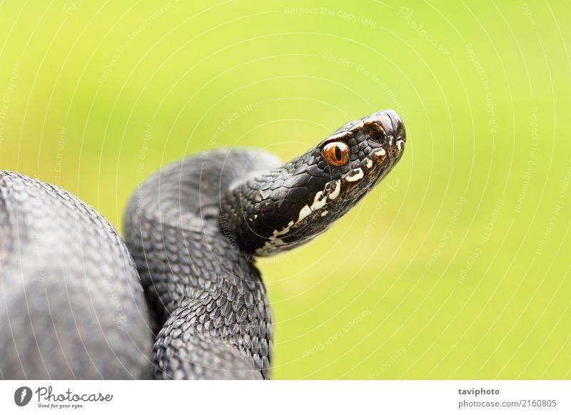 detailed portrait of black female viper Beautiful Science & Research Nature Animal Snake Natural Wild Black Dangerous Reptiles Viper adder wildlife venomous