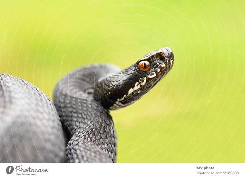 detailed portrait of black female viper Nature Beautiful Animal Black Natural Wild Dangerous Living thing Science & Research European Single Poison Reptiles