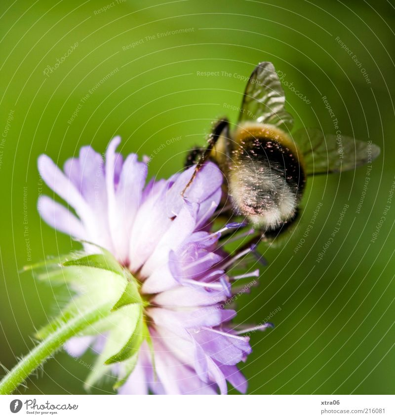 flowers and bees Nature Plant Animal Blossom Farm animal 1 Authentic Bee Flower Sprinkle Colour photo Exterior shot Close-up Detail Rear view Wing Blossom leave