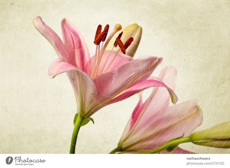 Pink Lilies Nature Plant Flower Leaf Blossom Lily Esthetic Simple Exotic Retro Green Elegant Beautiful Old Colour photo Multicoloured Studio shot Close-up