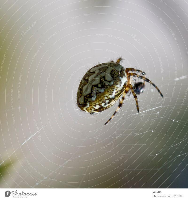 Animal Gray Creepy Spider Spider's web Macro (Extreme close-up) Net Spider legs