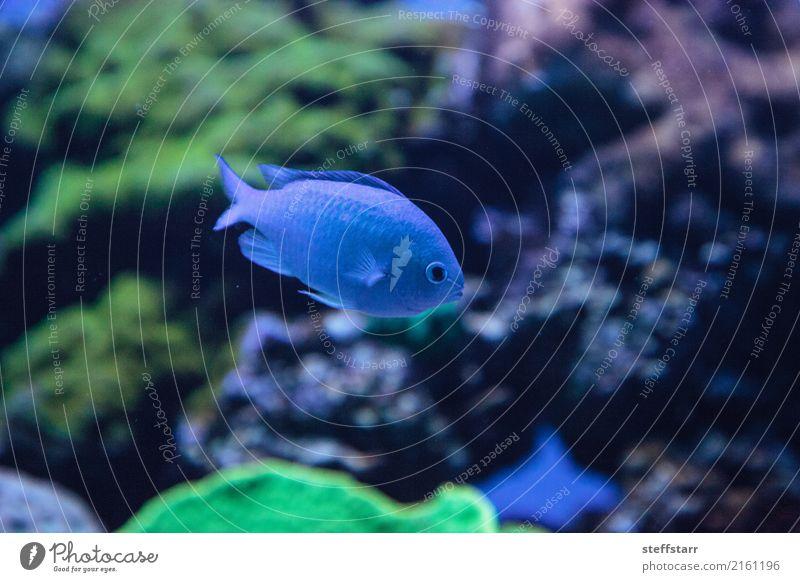 Blue Green Vanderbilts chomis, Chromis vanderbilti Beautiful Ocean Water Reef Coral reef Animal Pet Wild animal Fish 1 Colour Vanderbilts Chromis chromis