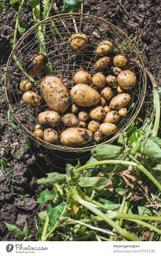 Harvest potatoes from the garden in a basket Vegetable Summer Garden Gardening Hand Culture Nature Plant Earth Dirty Fresh Natural Potatoes food Crops Farm