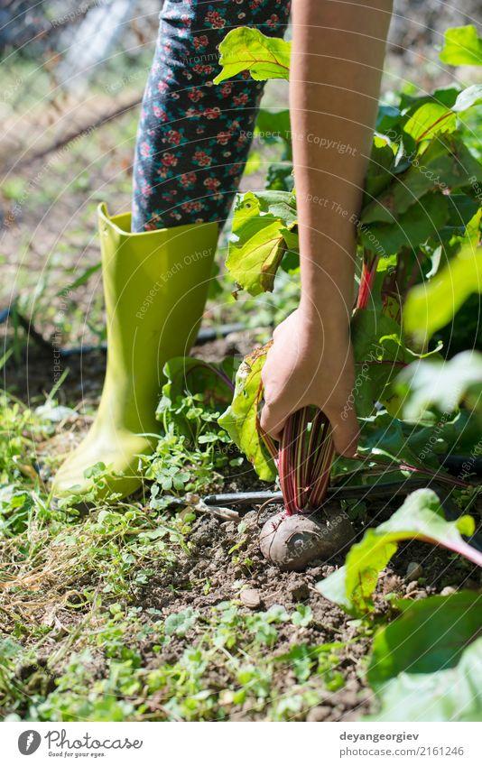 Woman harvest beet in the garden. Nature Plant Summer Green Red Leaf Natural Wood Garden Fresh Vegetable Harvest Vegetarian diet Vitamin Farmer Gardening