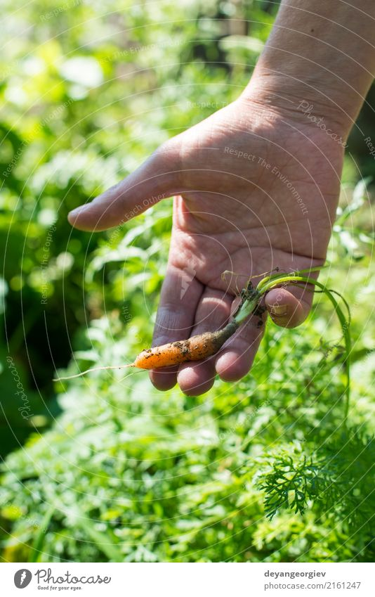 Woman harvest carrots in the garden Plant Green Hand Adults Garden Earth Growth Fresh Ground Vegetable Farm Harvest Agriculture Vegetarian diet Farmer