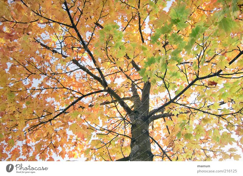 Nature Old Tree Leaf Autumn Environment Change Transience Natural Illuminate Branchage Autumn leaves October Twigs and branches Plant Autumnal