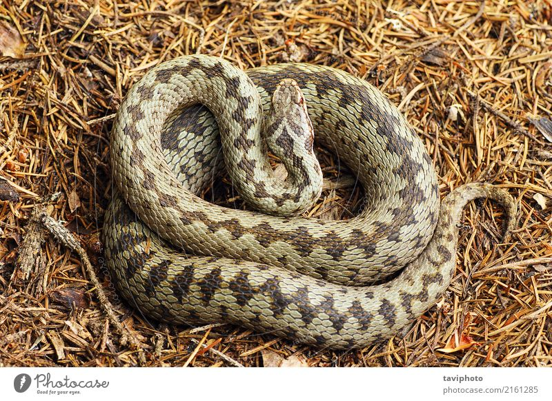beautiful crossed european common adder Woman Nature Beautiful Animal Adults Gray Brown Fear Wild Wild animal Dangerous European Poison Reptiles Snake Crossed