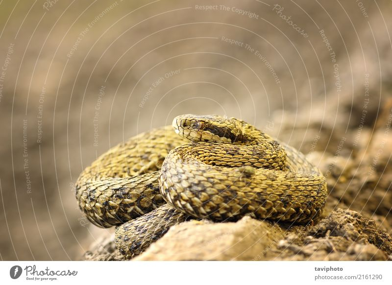 beautiful meadow viper basking in natural environment Nature Beautiful Animal Environment Meadow Brown Fear Wild Dangerous Ground Living thing European Poison