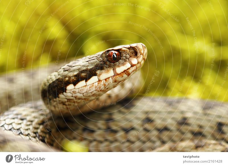beautiful portrait of common european viper Nature Beautiful Green Animal Forest Natural Gray Brown Fear Wild Dangerous European Moss Poison Reptiles Snake